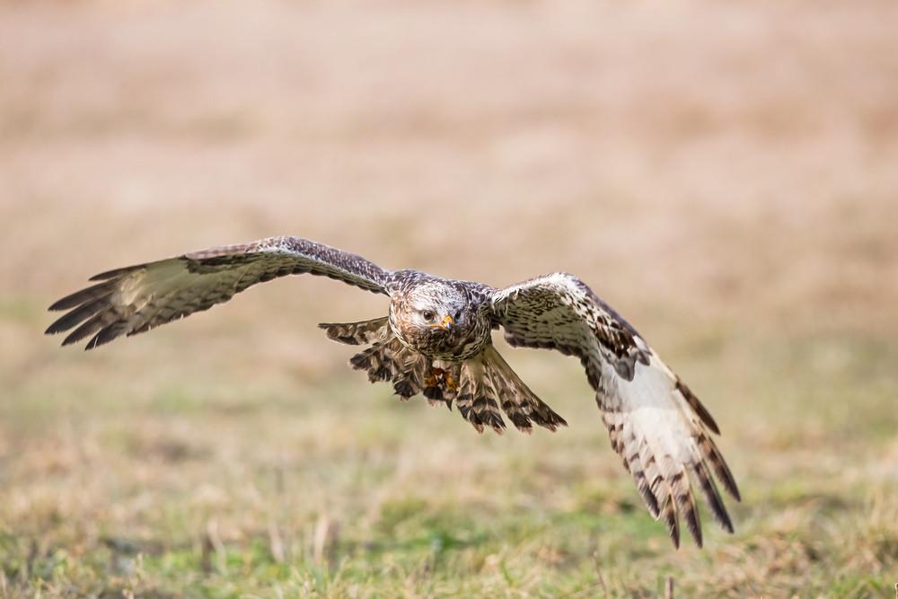 _H2P2570 Rough-legged Buzzard