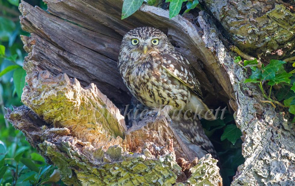 _13C1295 Litle Owl (adult).jpg