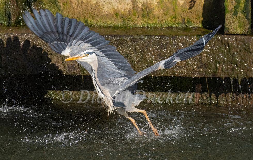_A5A7916 Heron taking off from water.jpg