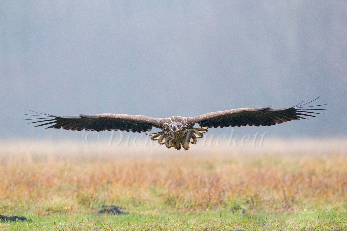 _H2P3790 Eagle low over grass in rain.jpg