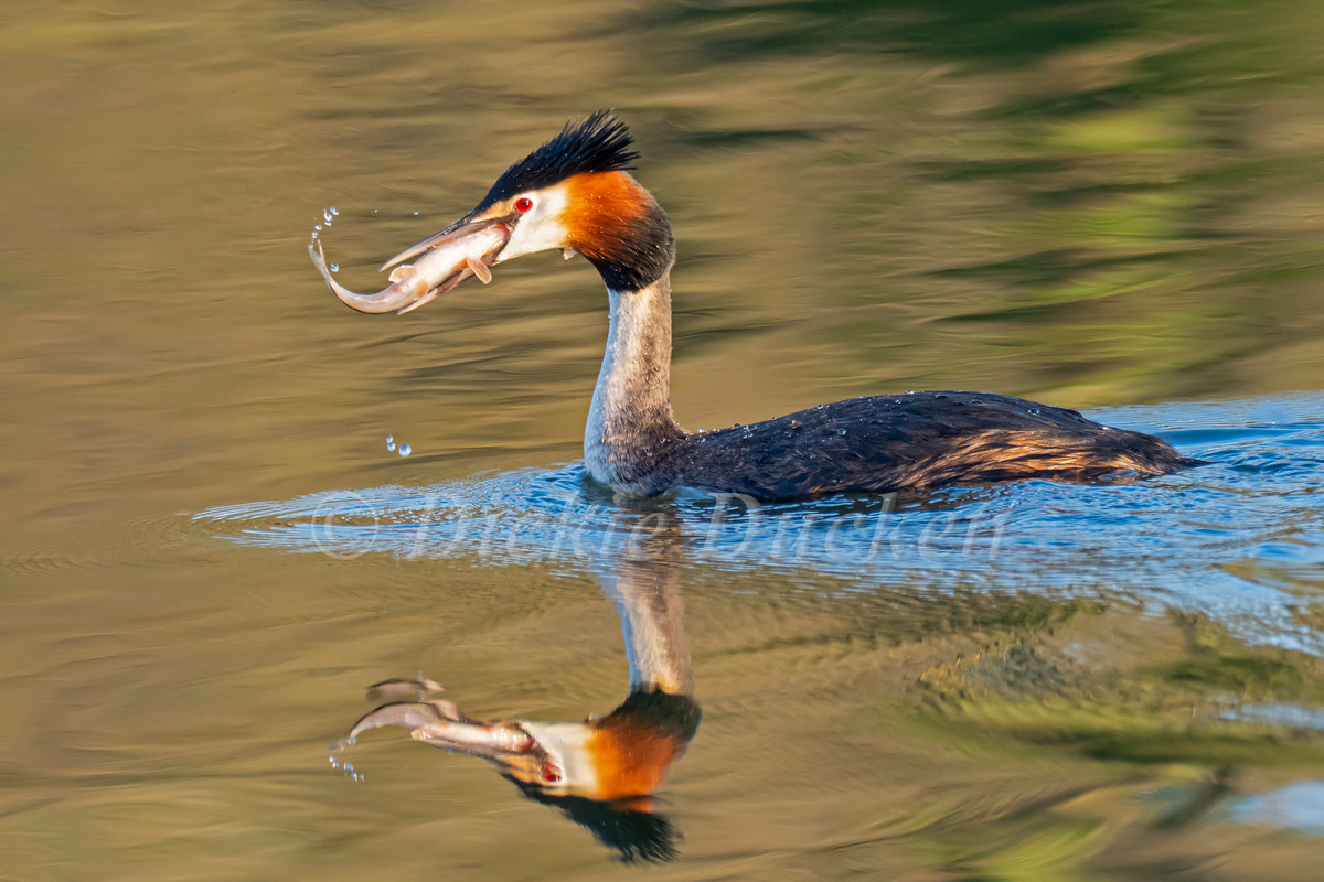 _4052126 Grebe swallowing fish (Roach).j