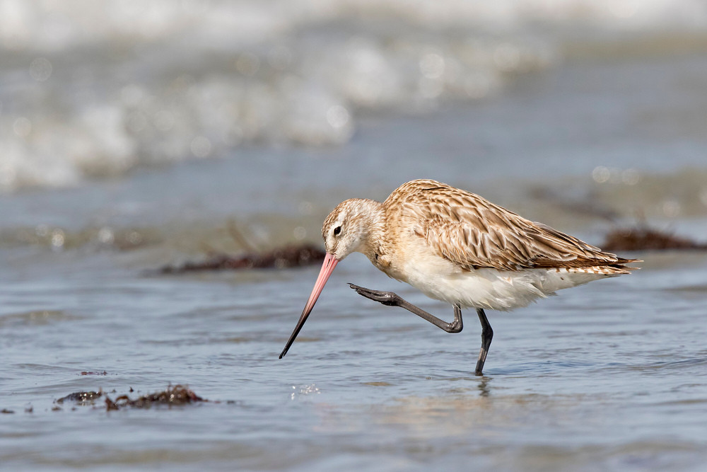 _A5A8101 Bar-tailed Godwit.jp