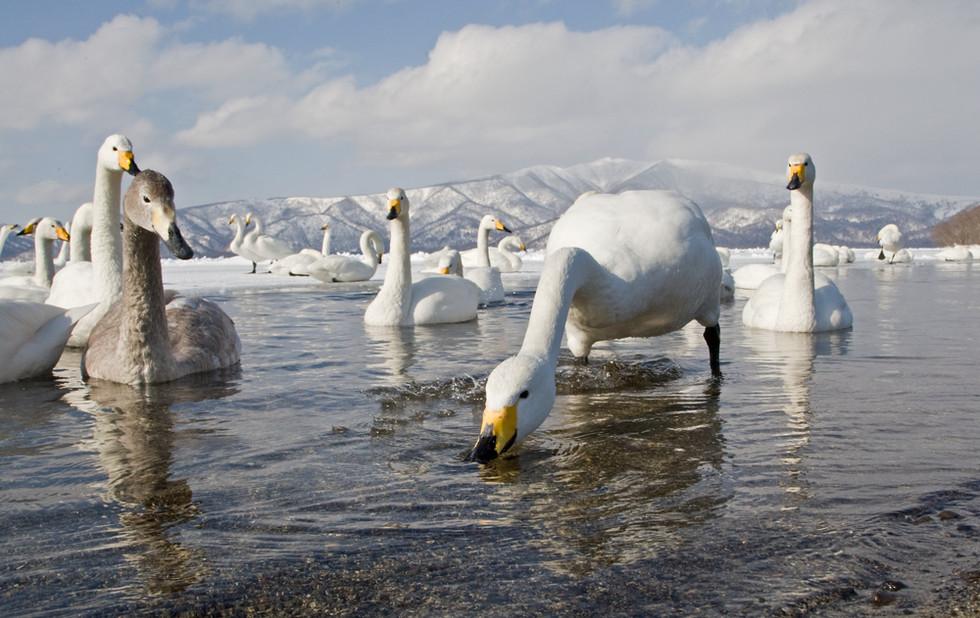 _93C4951 Swans in hot spring