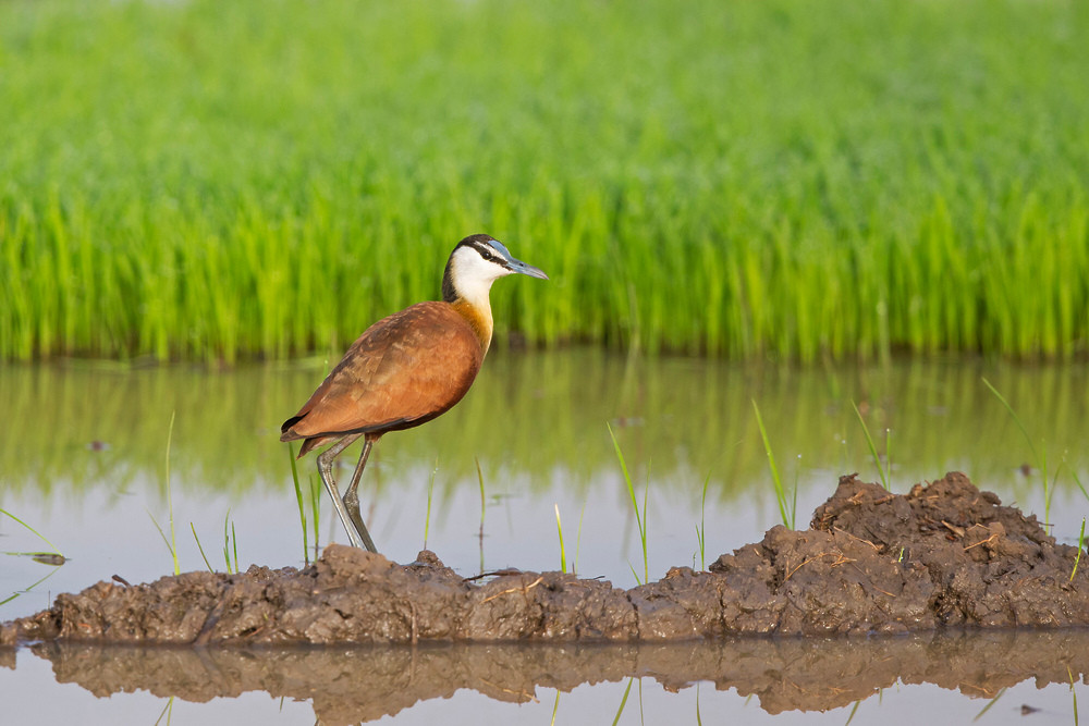 _H2P0588 Jacana in Rice field.jpg