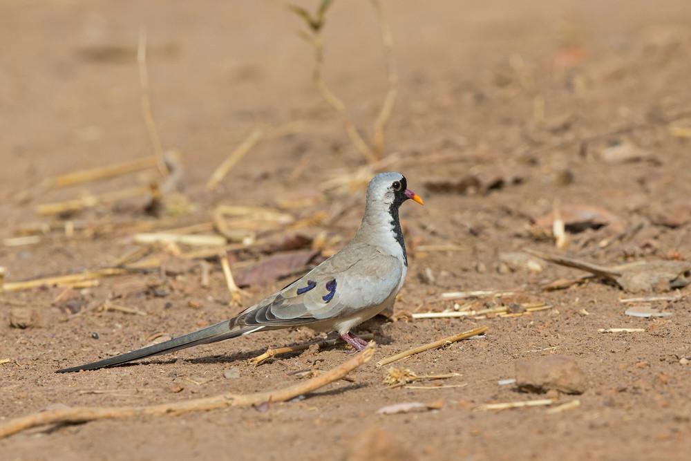 _H2P9904 Namaqua Dove.jpg