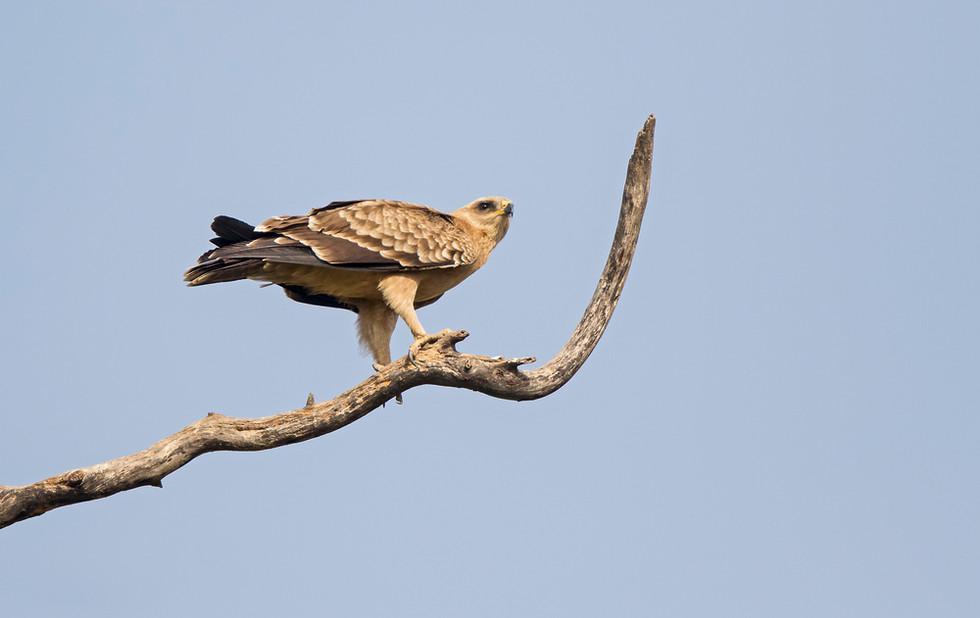 _A5A2390 Tawny Eagle.jpg