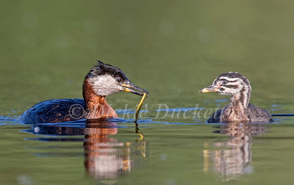 _A5A2915 Adult feeding chick.jpg