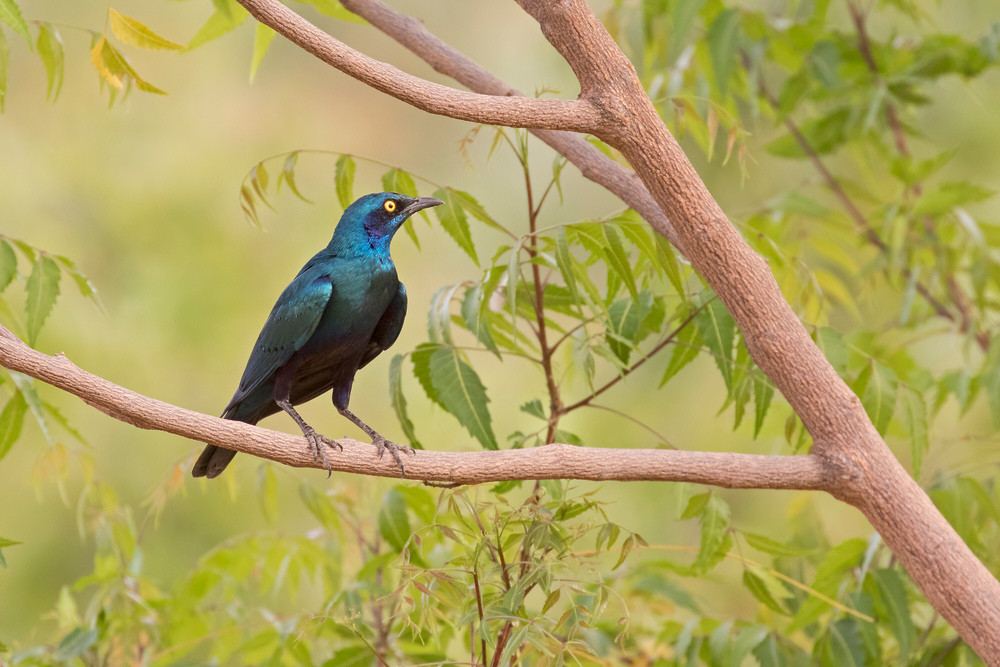 _A5A0404 Greater blue-eared Starling.jpg