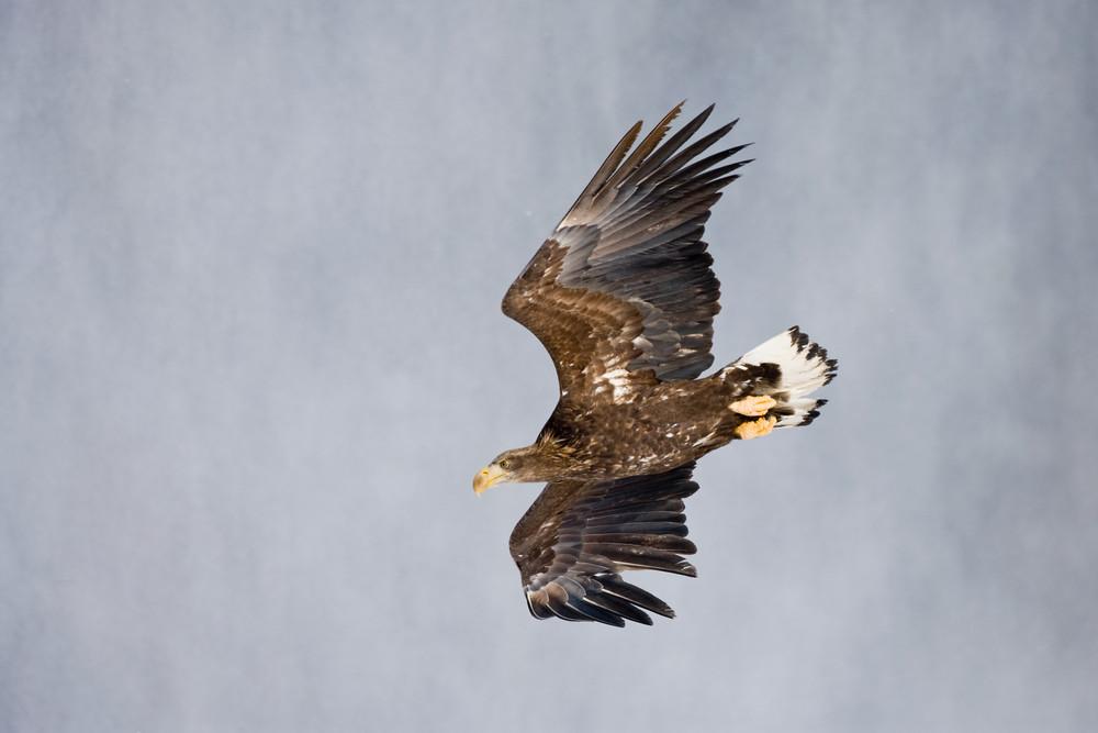 _X0A1100 Eagle diving