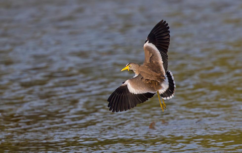 _H2P9038 Wattled Plover landing.jpg