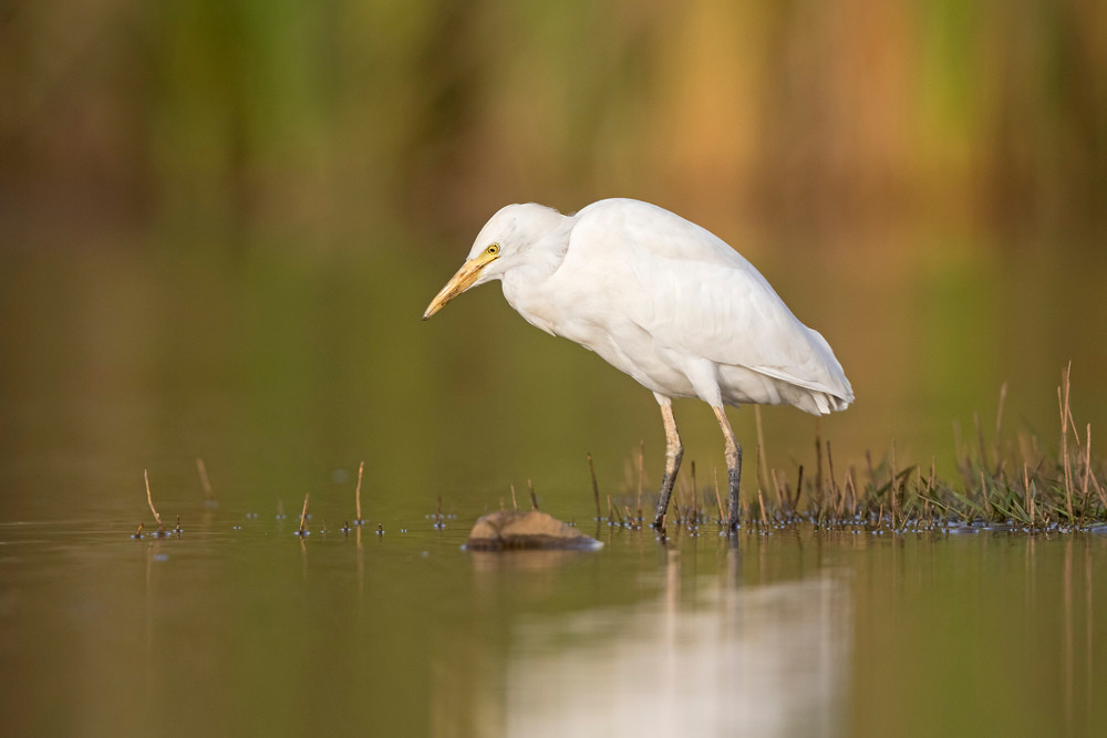 _A5A3437 Cattle Egret.jpg
