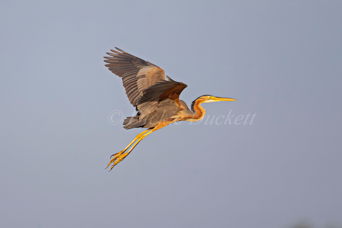 _H2P0989 Purple Heron in flt.jpg