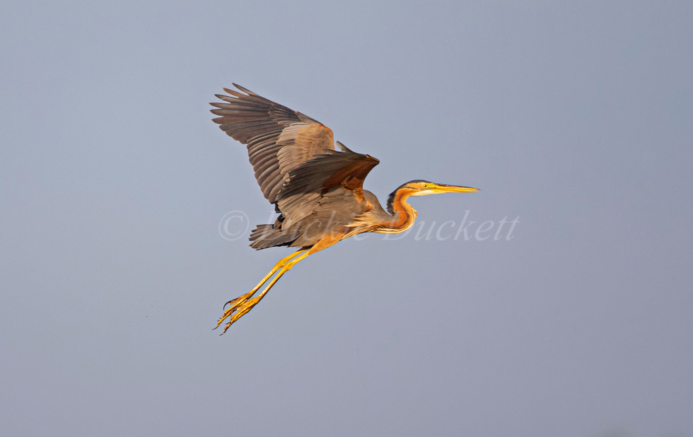 _H2P0989 Purple Heron in flt.jpg