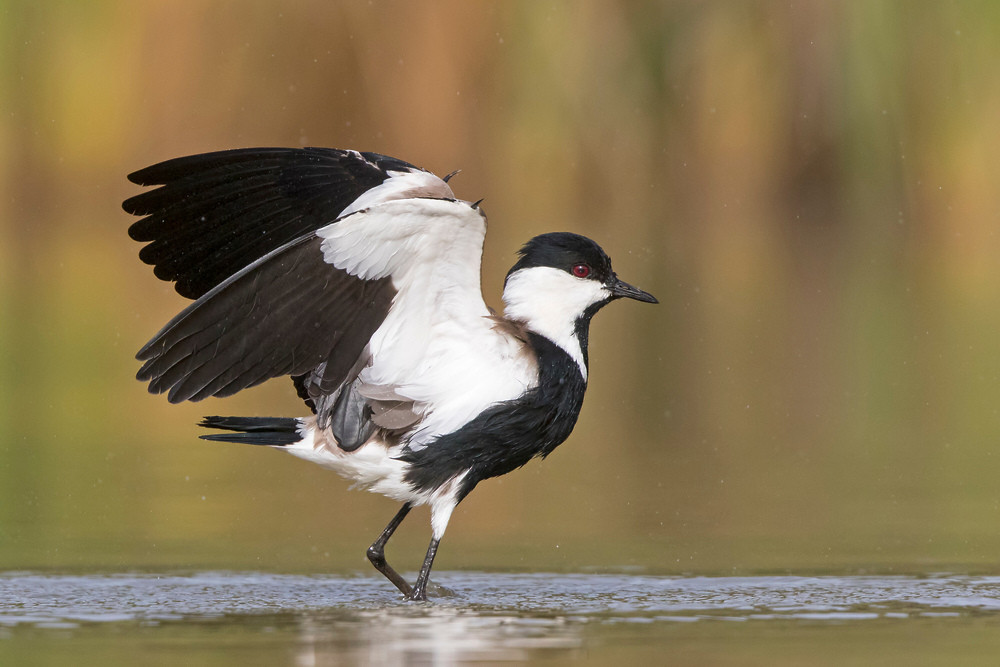 _A5A3755 Spur-winged Plover.