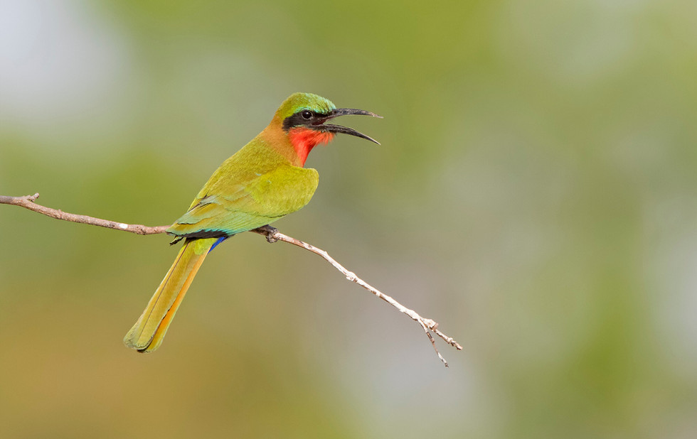 _A5A1480 Red-throated Bee Eater panting.
