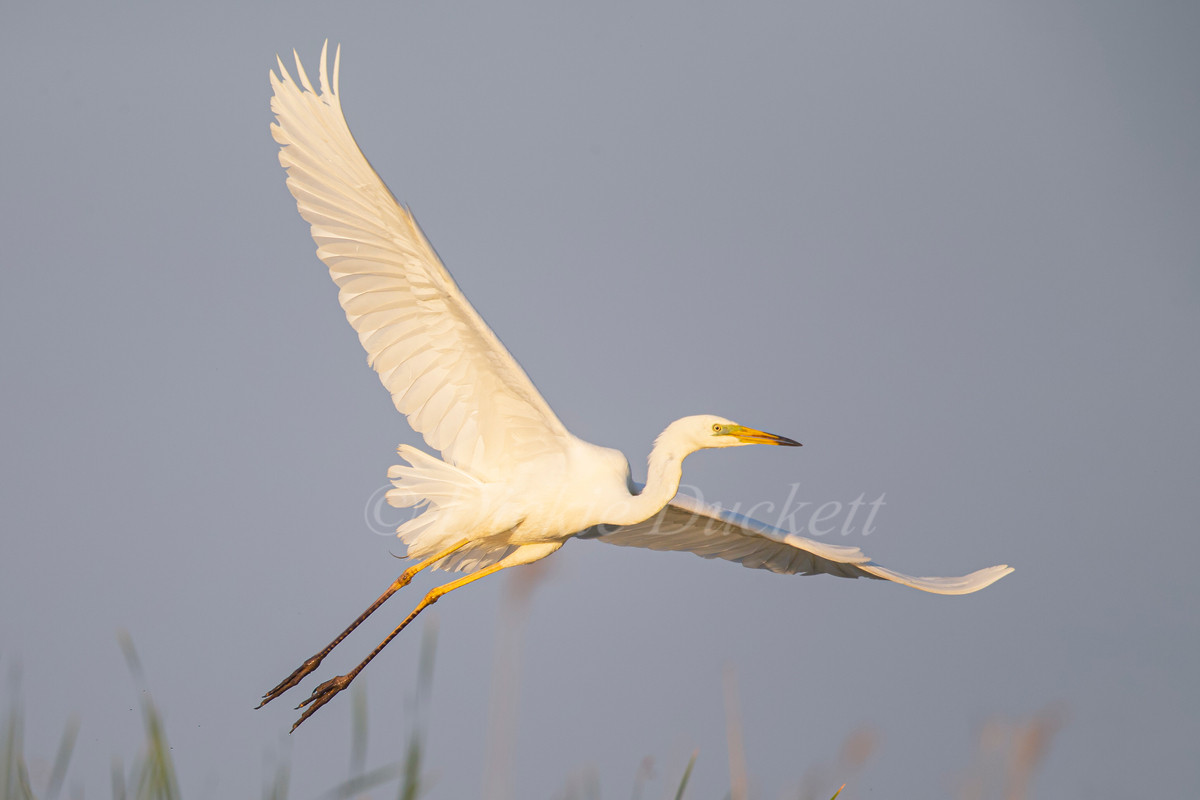 _H2P0692 GW Egret in flt over reeds (can