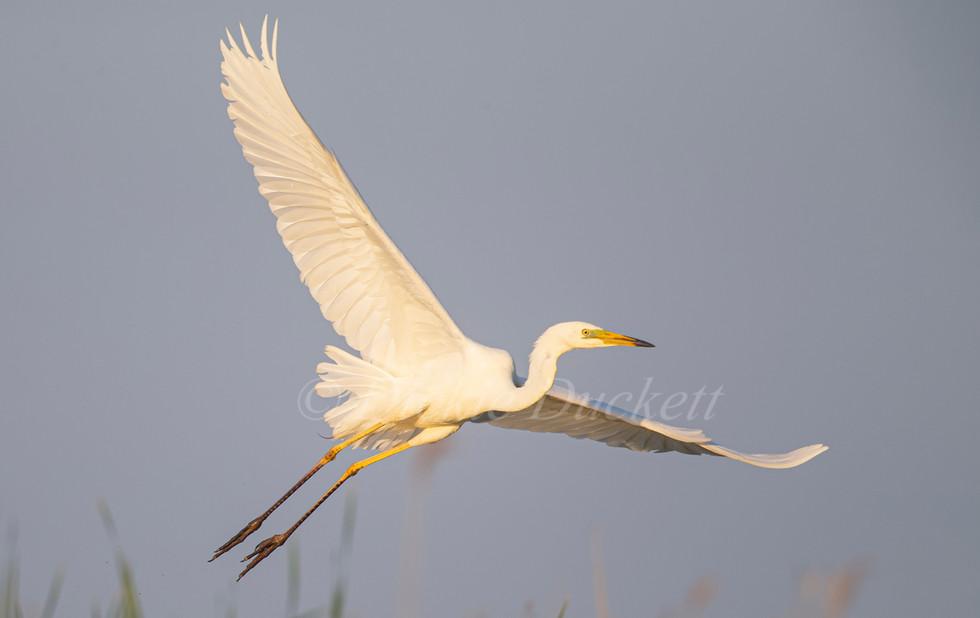 _H2P0692 GW Egret in flt over reeds (can