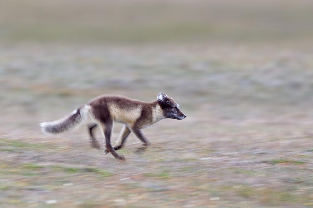 01 Arctic Fox.jpg