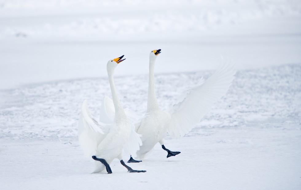 _X0A2943 Swan pair parading