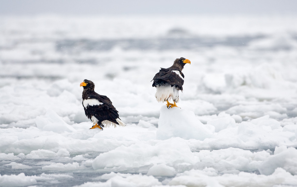 _93C7092 Steller pair on ice OK.jpg