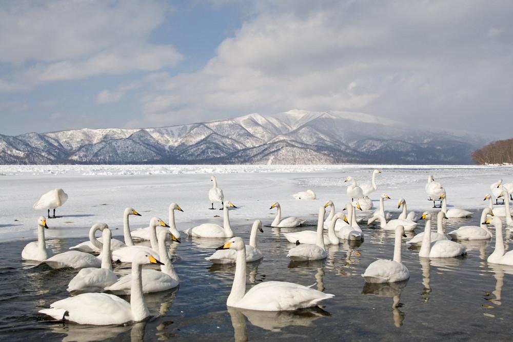_93C4879 Swans in hot spring