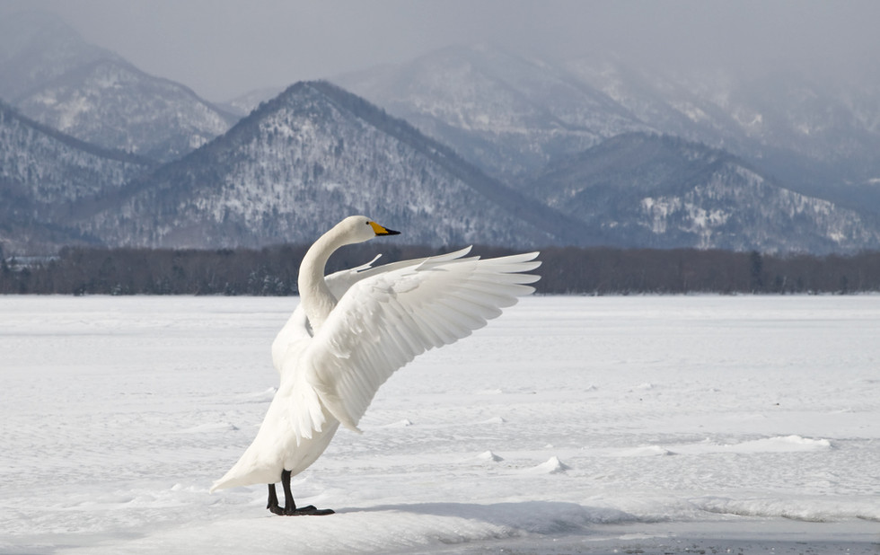 _X0A2086 Swan wing stretching