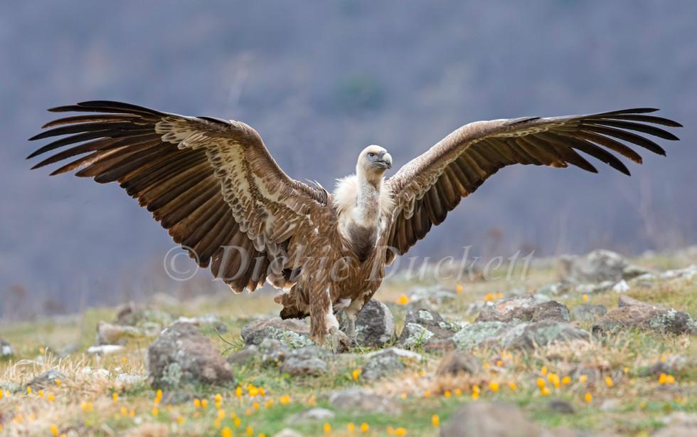 _I8A3684 Griffon Vulture walking wings s