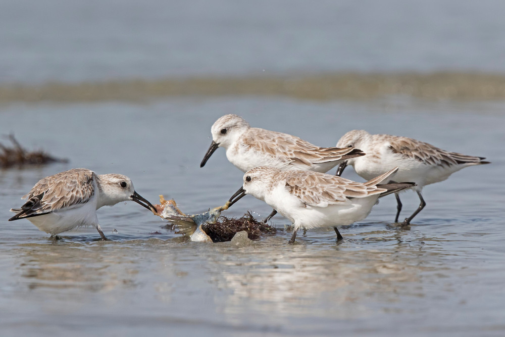 _A5A8200 Sanderling feeding on fish.jpg