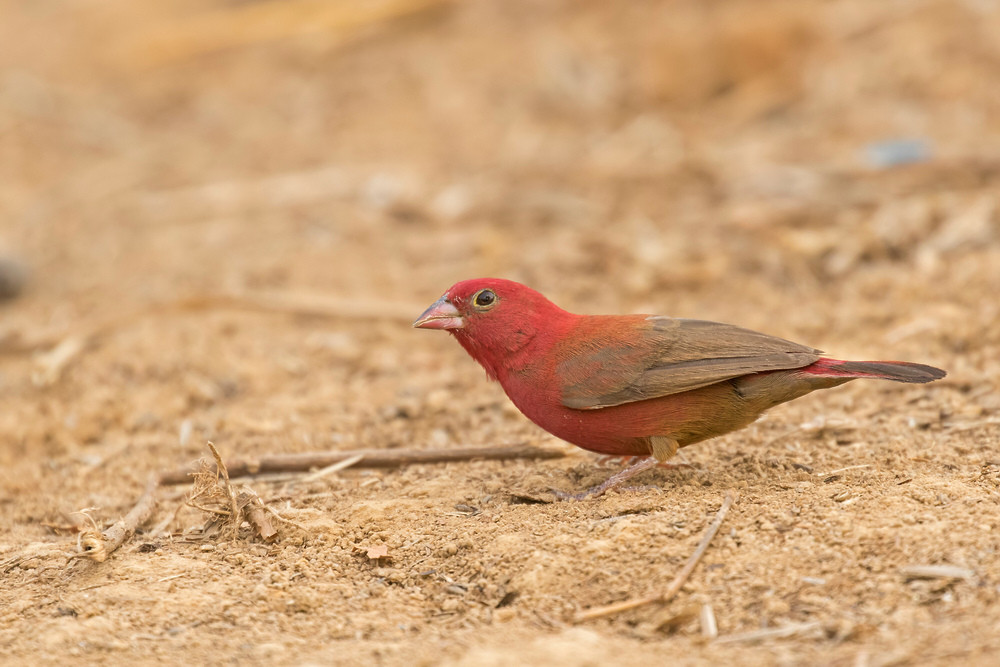 _A5A0387 Red-billed Firefinch.jpg
