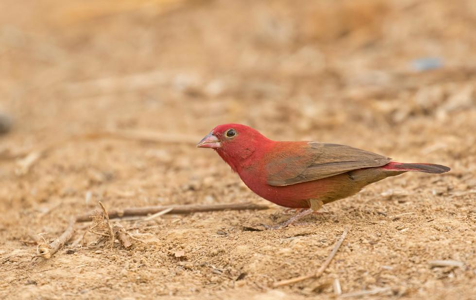 _A5A0387 Red-billed Firefinch.jpg