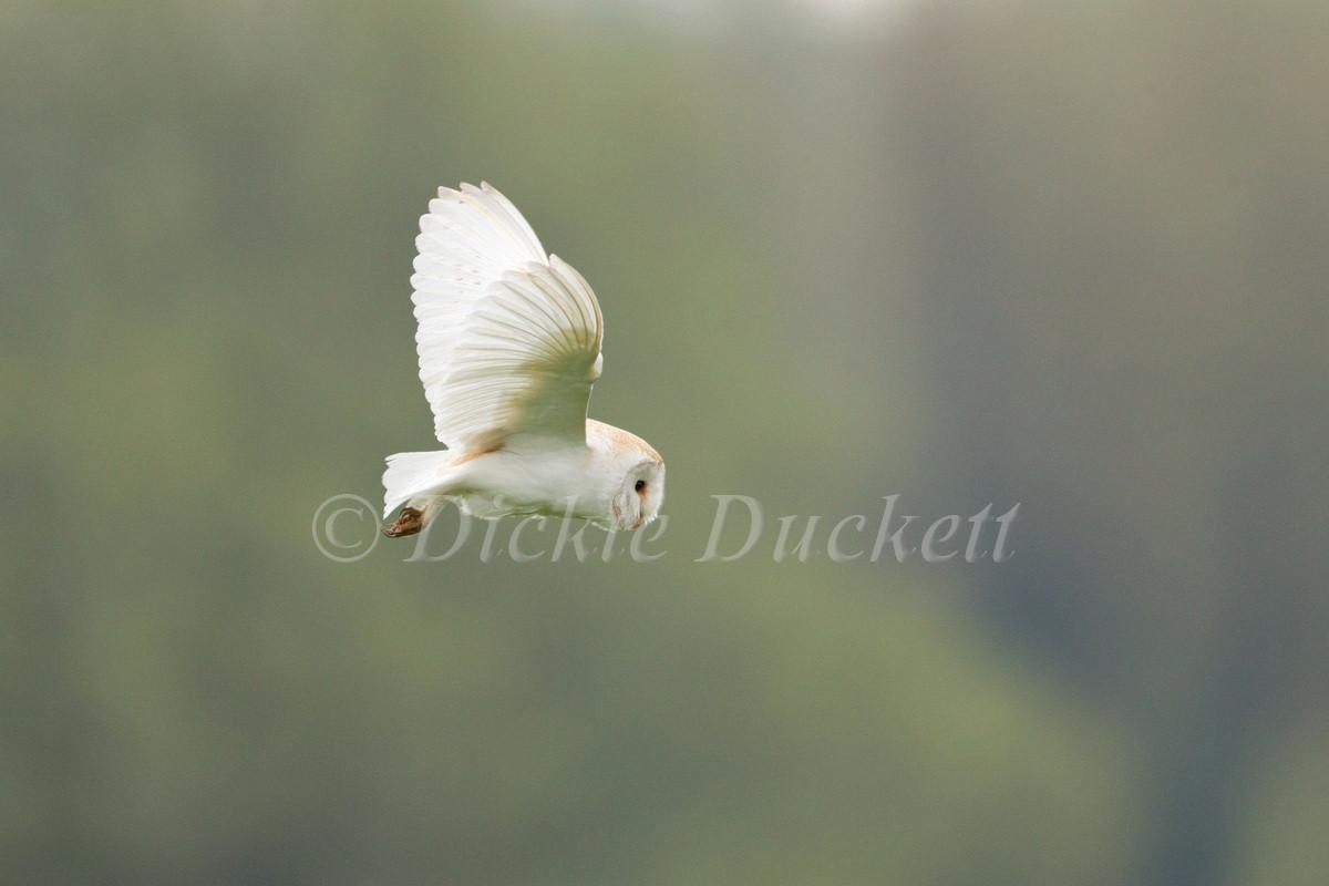 _13C6058 Barn Owl hovering high OK.jpg