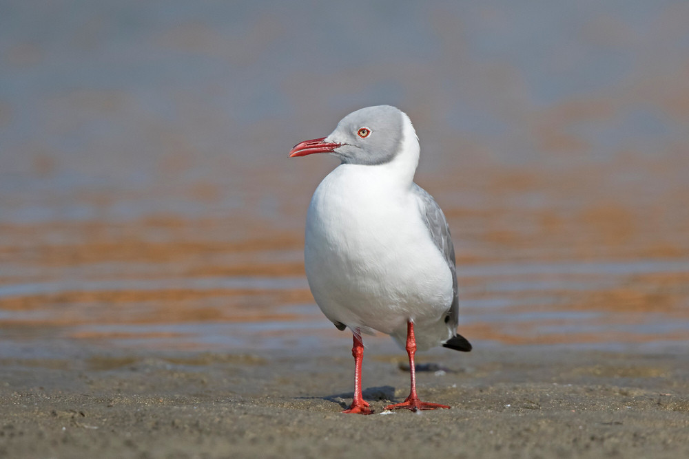 _A5A8371 Grey-headed Gull.jpg
