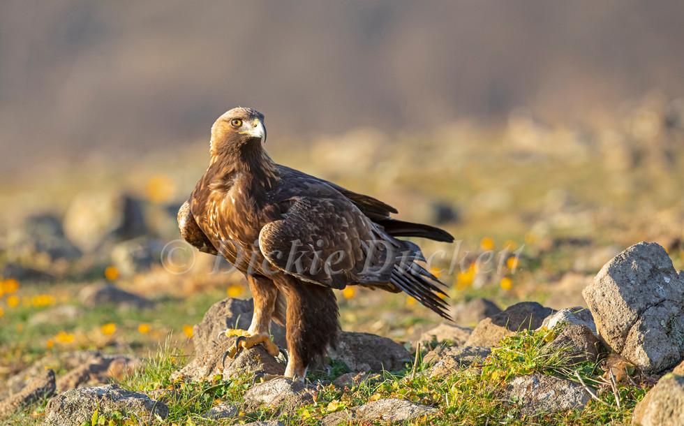 _I8A4177 Golden Eagle on ground OK.jpg
