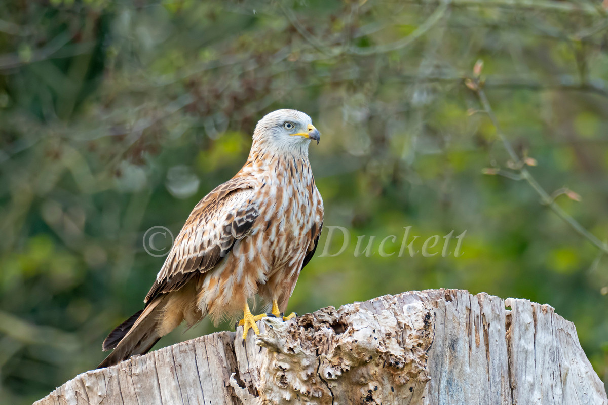 _4072924 Red Kite perched.jpg