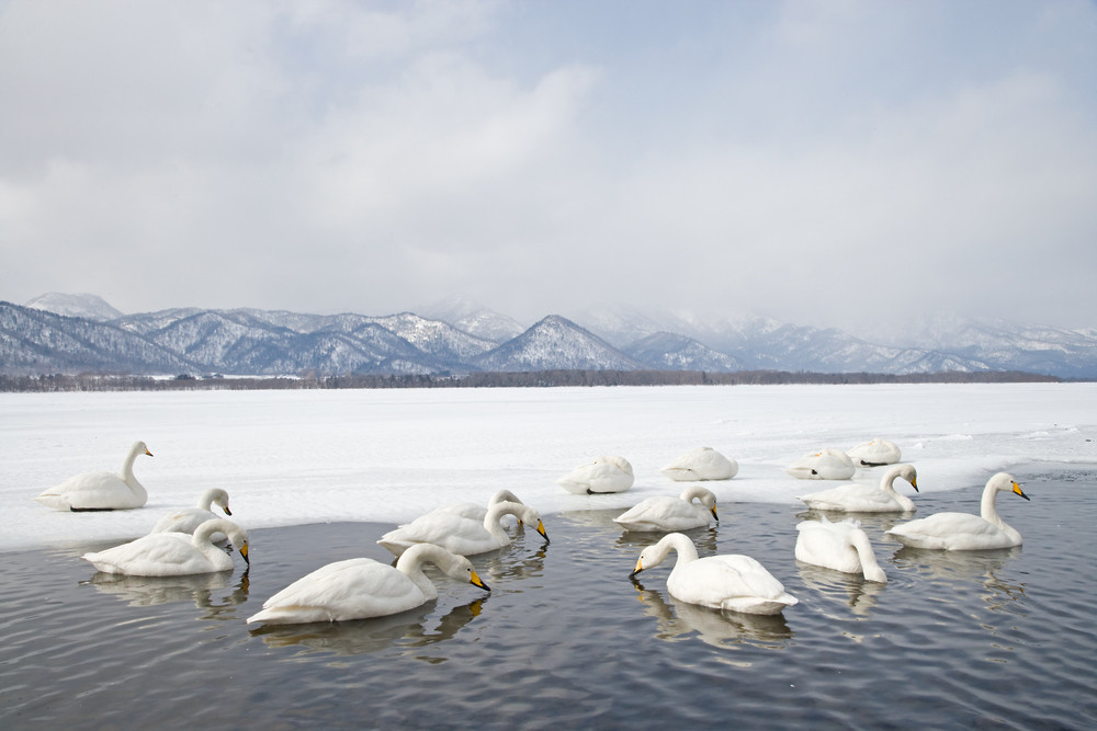 _X0A2049 Swans in hot spring