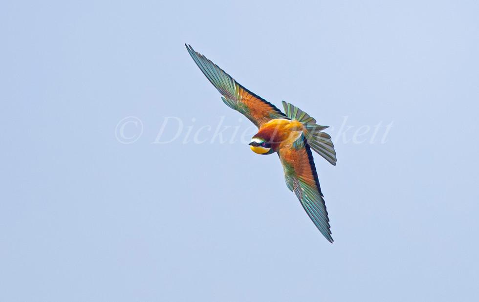 _H2P3442 Bee Eater flying towards.jpg
