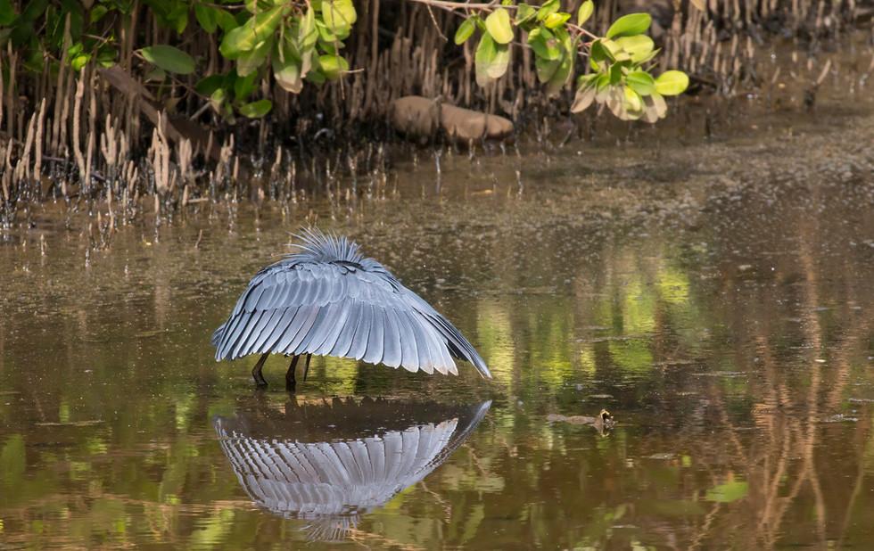 _H2P0927 Black Egret fishing in Mangrove
