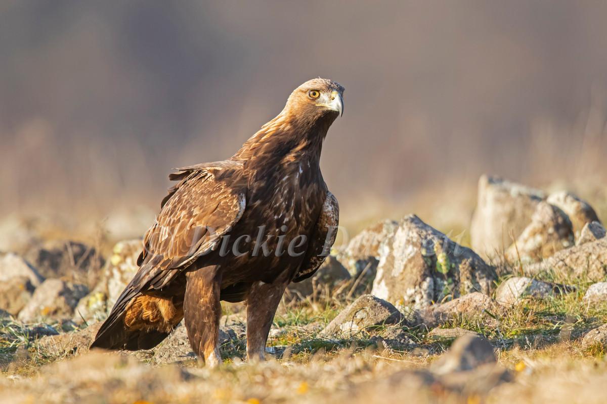 _I8A4142 Golden Eagle on ground.jpg