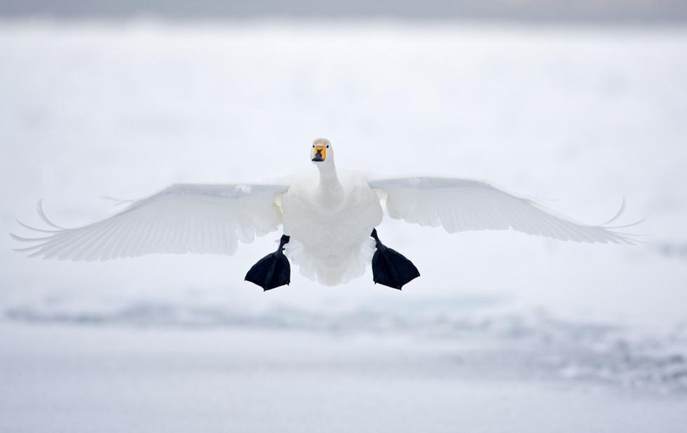 _93C5189 Whooper landing