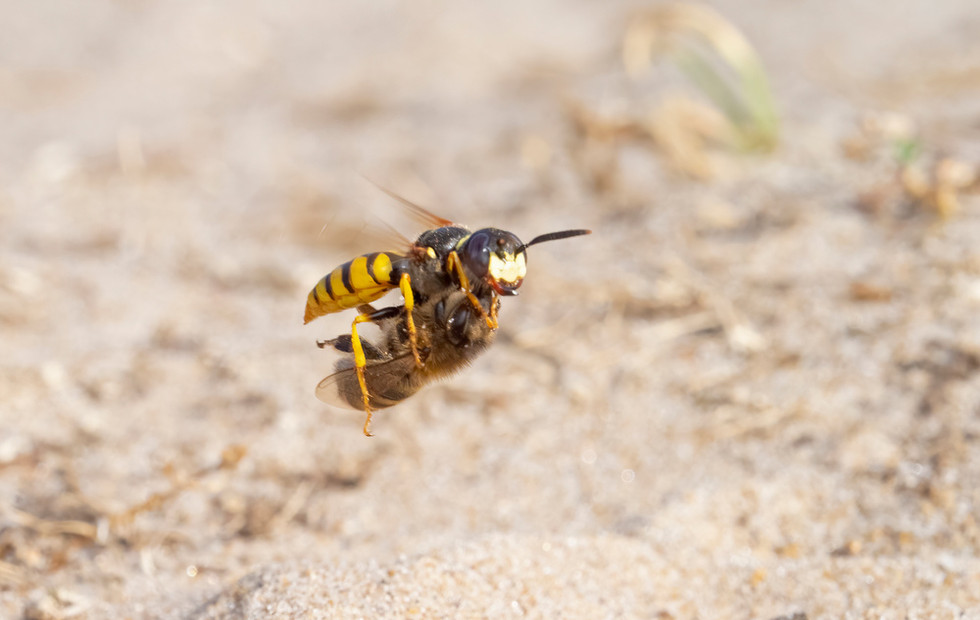 _7079312 Bee Wolf in flt with Bee.jpg