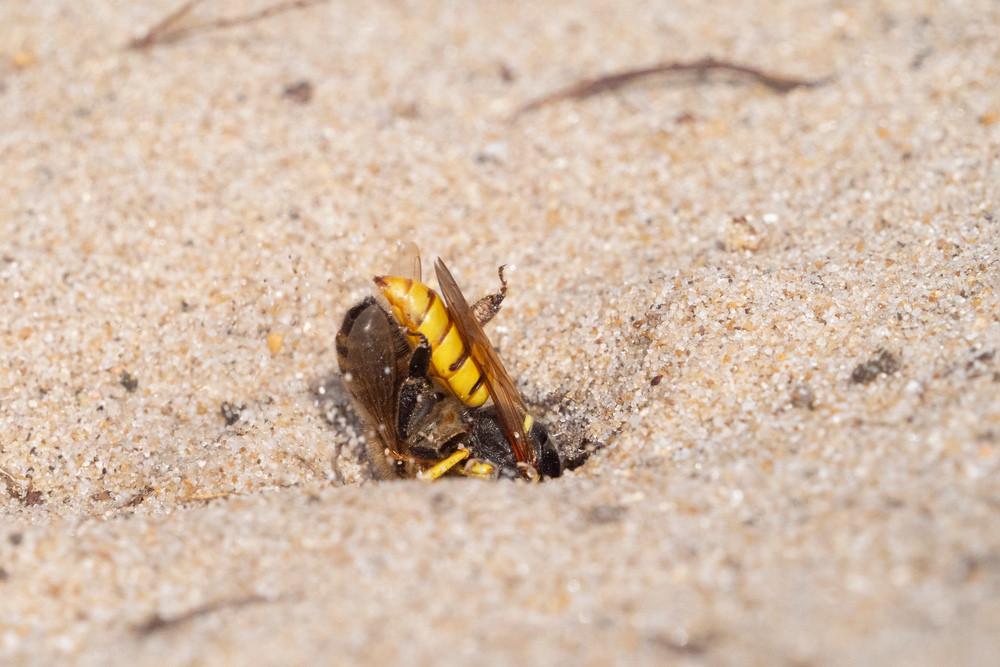 _7079080 Bee Wolf burying Bee.jpg
