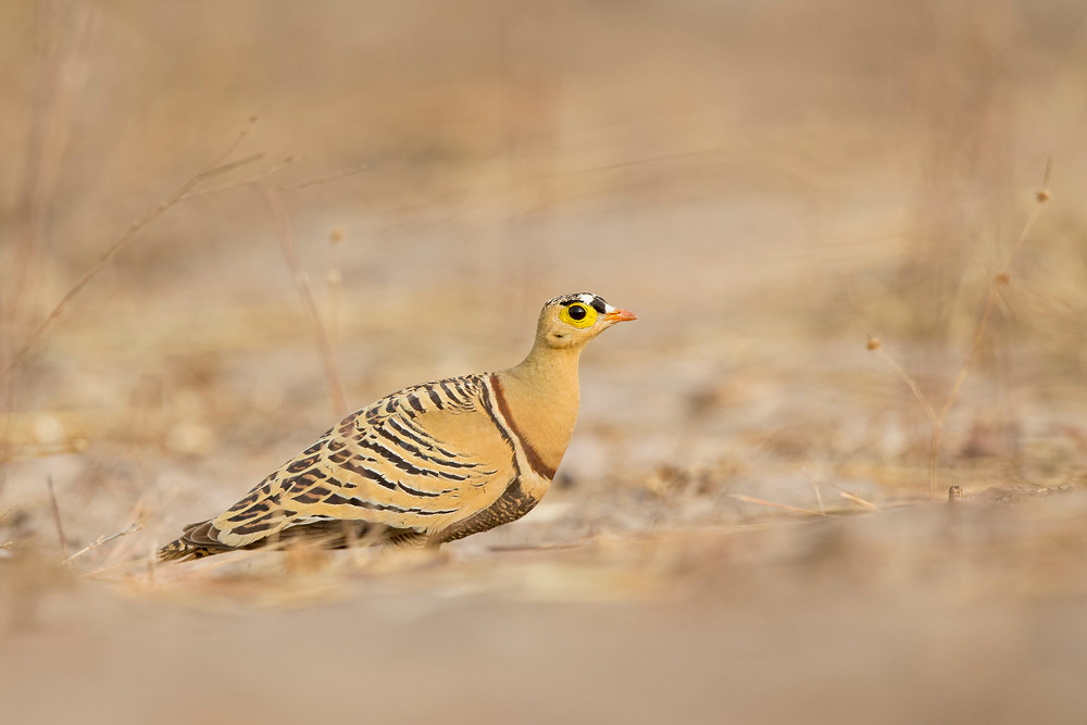_H2P0441 Four-banded Sandgrouse.jpg