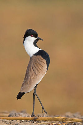 _H2P0672 Spur-winged Plover parading (ve