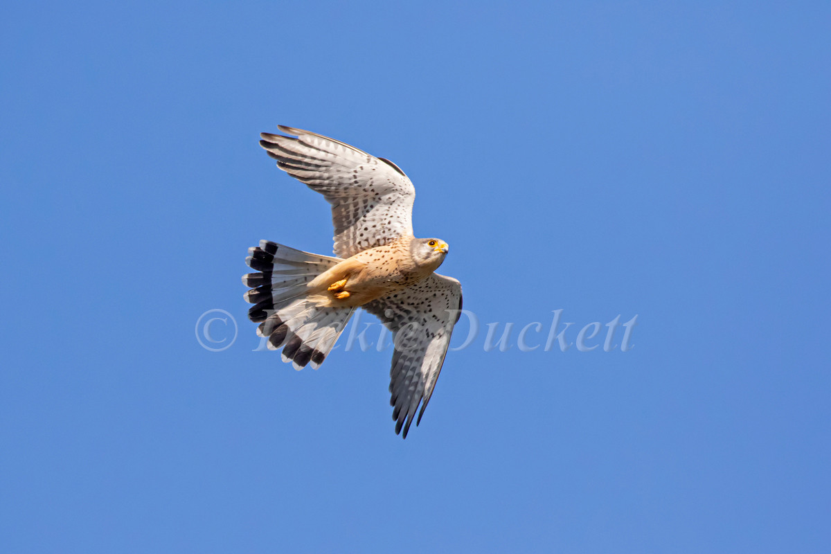 _A5A7850 Kestrel in flt belly up.jpg