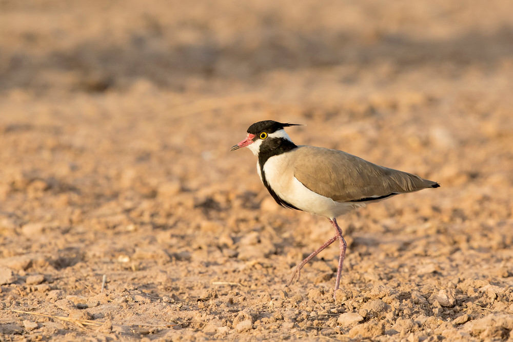_A5A9074 Black-headed Lapwing.jpg
