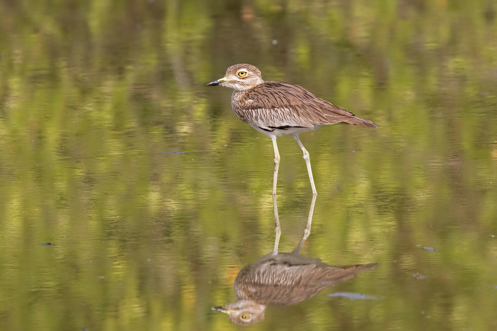 _A5A4695 Thick Knee reflection.jpg