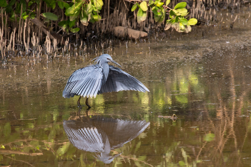 _H2P0931 Black Heron fishing.jpg