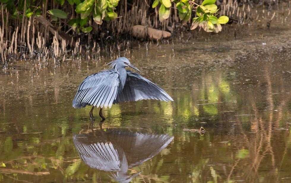 _H2P0931 Black Heron fishing.jpg