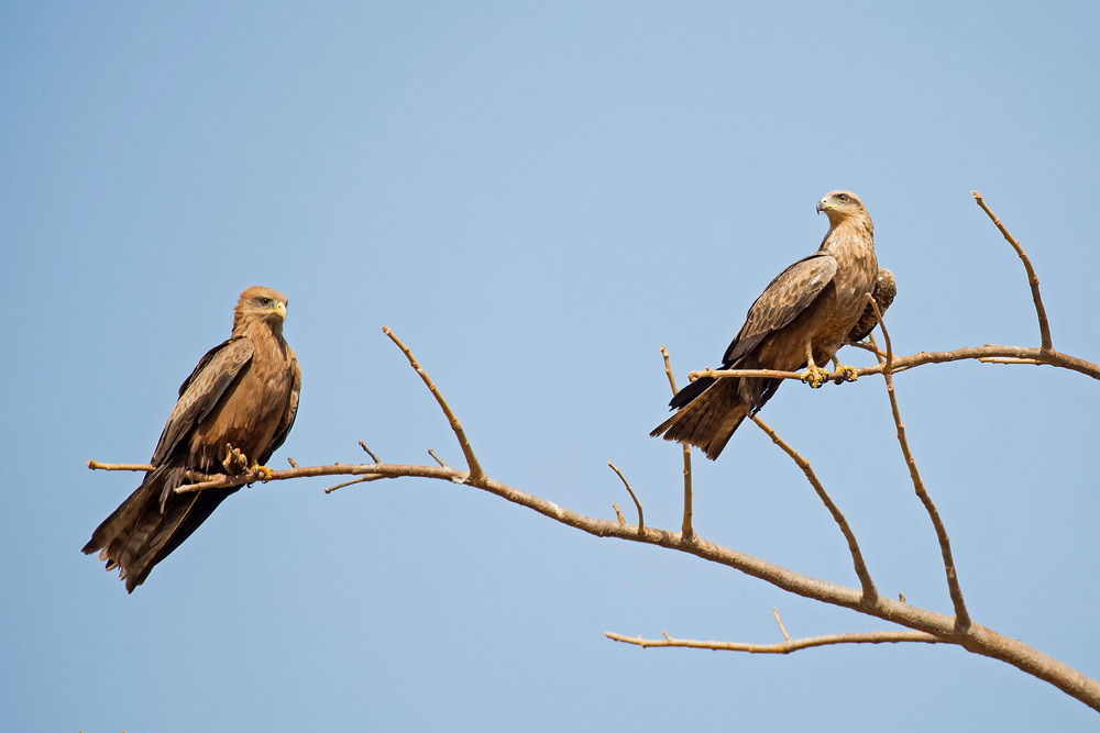 _H2P9178 Yellow-billed Kite and Black Ki