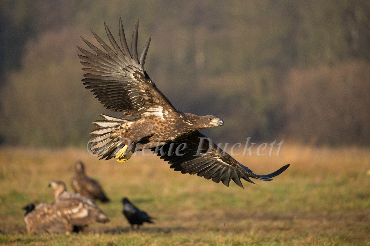 _H2P7112 Eagle low over grass.jpg